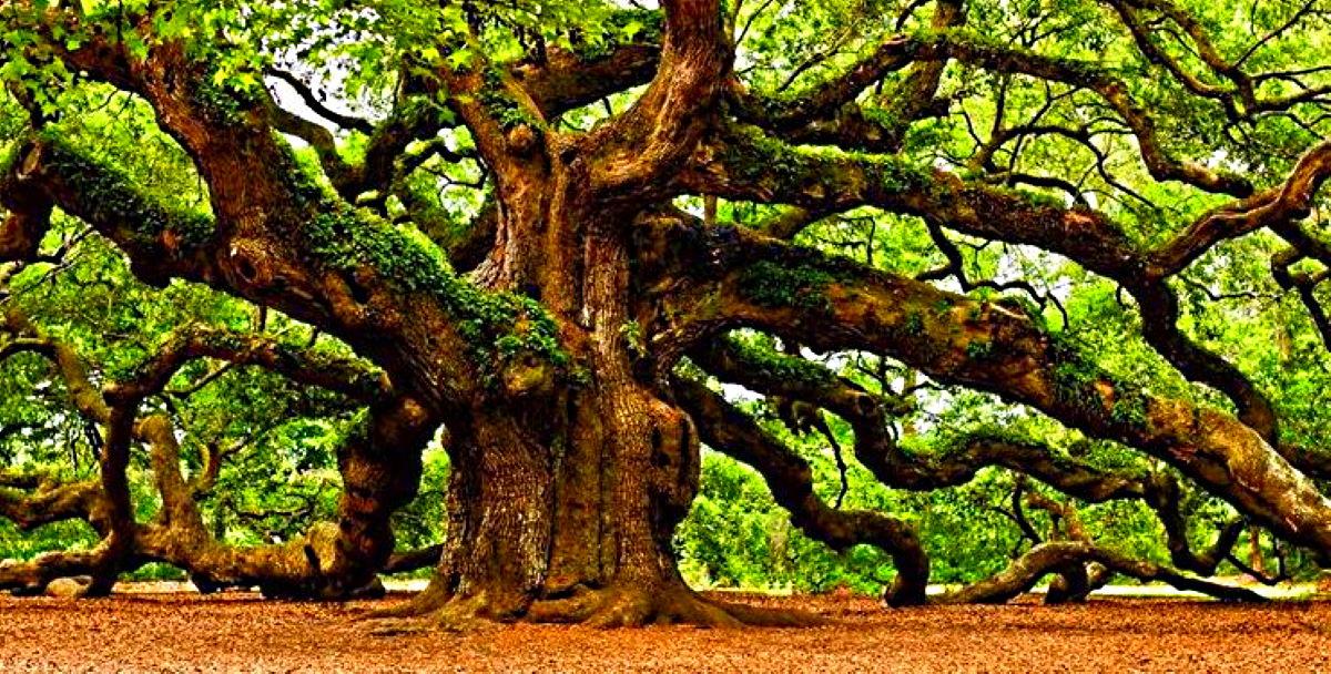 Oakmond Oak